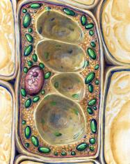 Plant cell mural